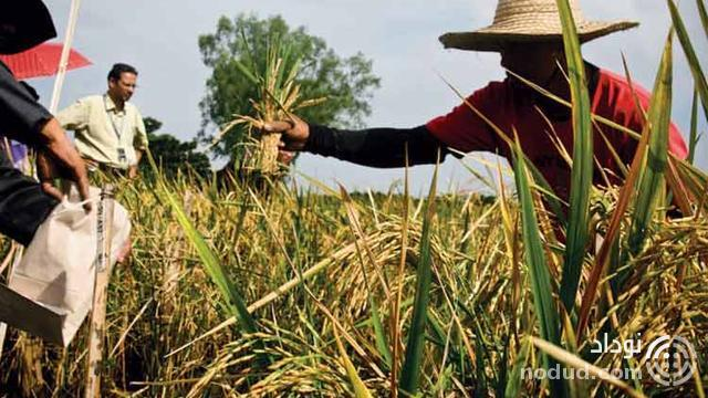 golden rice project Golden rice first published: january 9, 2012 | last updated:november 22, 2013 golden rice is a variety of gm rice produced to biosynthesize beta-carotene, a precursor of pro-vitamin a in the edible.
