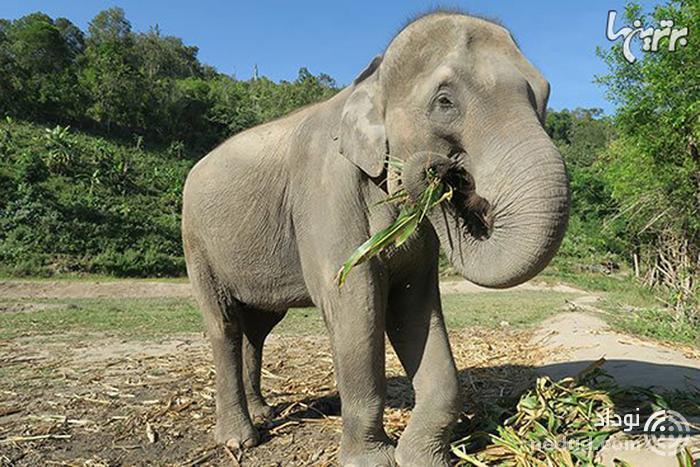 حقایق عجیب و خارق العاده درباره فیل ها
