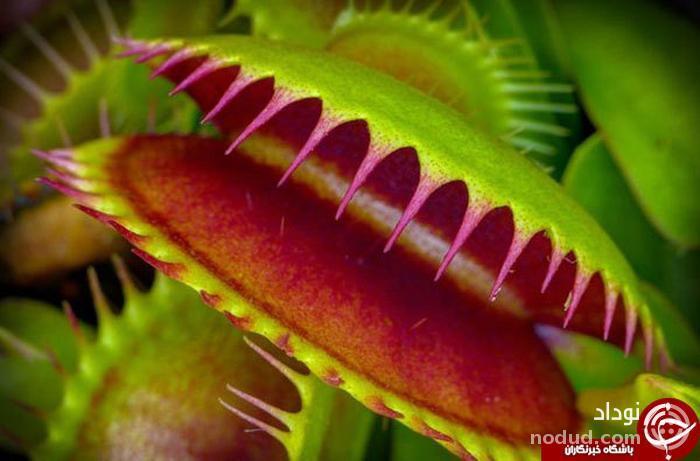 اسراری پیرامون گیاهان گوشتخوار و سیر تکاملی آن ها! + تصاویر