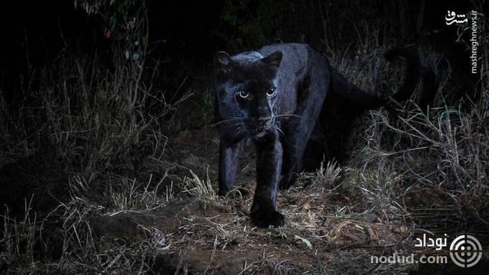 تصویر نادر از پلنگ سیاه آفریقایی