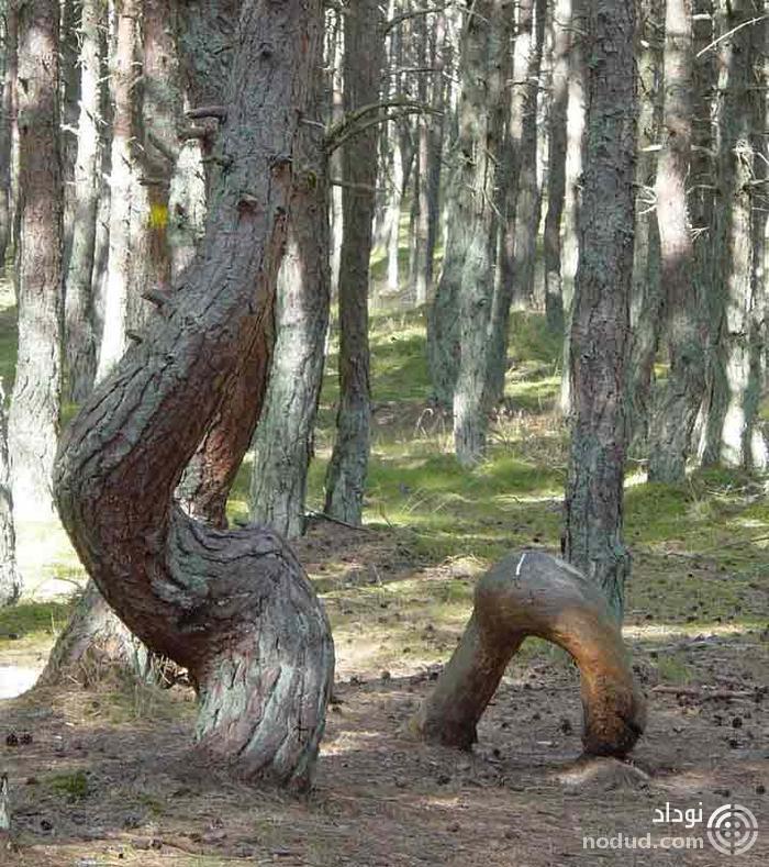 دانشمندان توضیحی برای درختان خمیده ی جنگل رقصان در روسیه ندارند