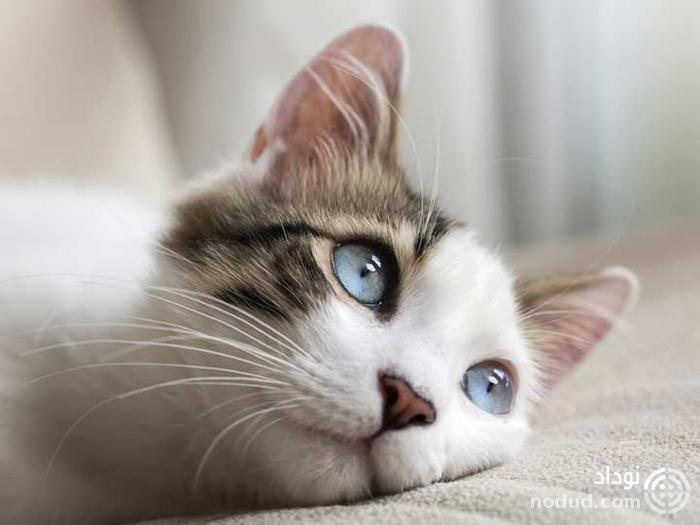 دانشمندان می دانند گربه چطور خرخر می کند، اما دلیل آن را نمی دانند
