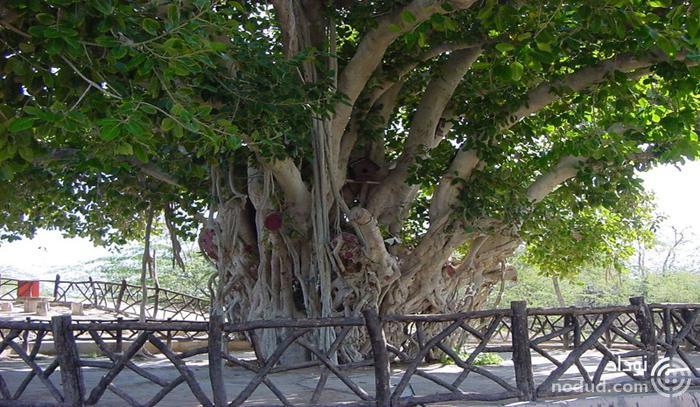 درخت انجیر معابد کیش